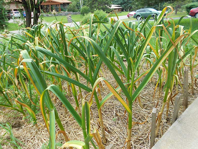 The little patch of garlic next to my front porch. The neighbors think they're irises that never bloom.